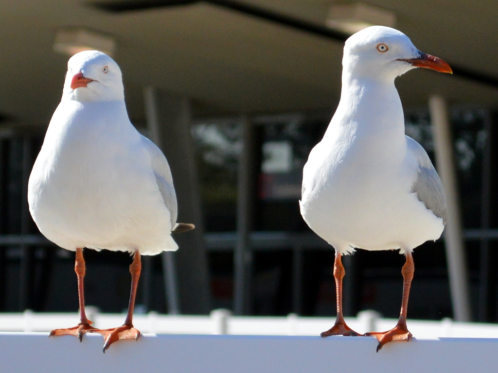 Gulls to be used in Desalination Plant